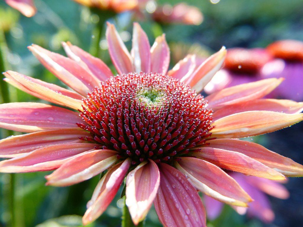 echinacea, coneflower, blossom